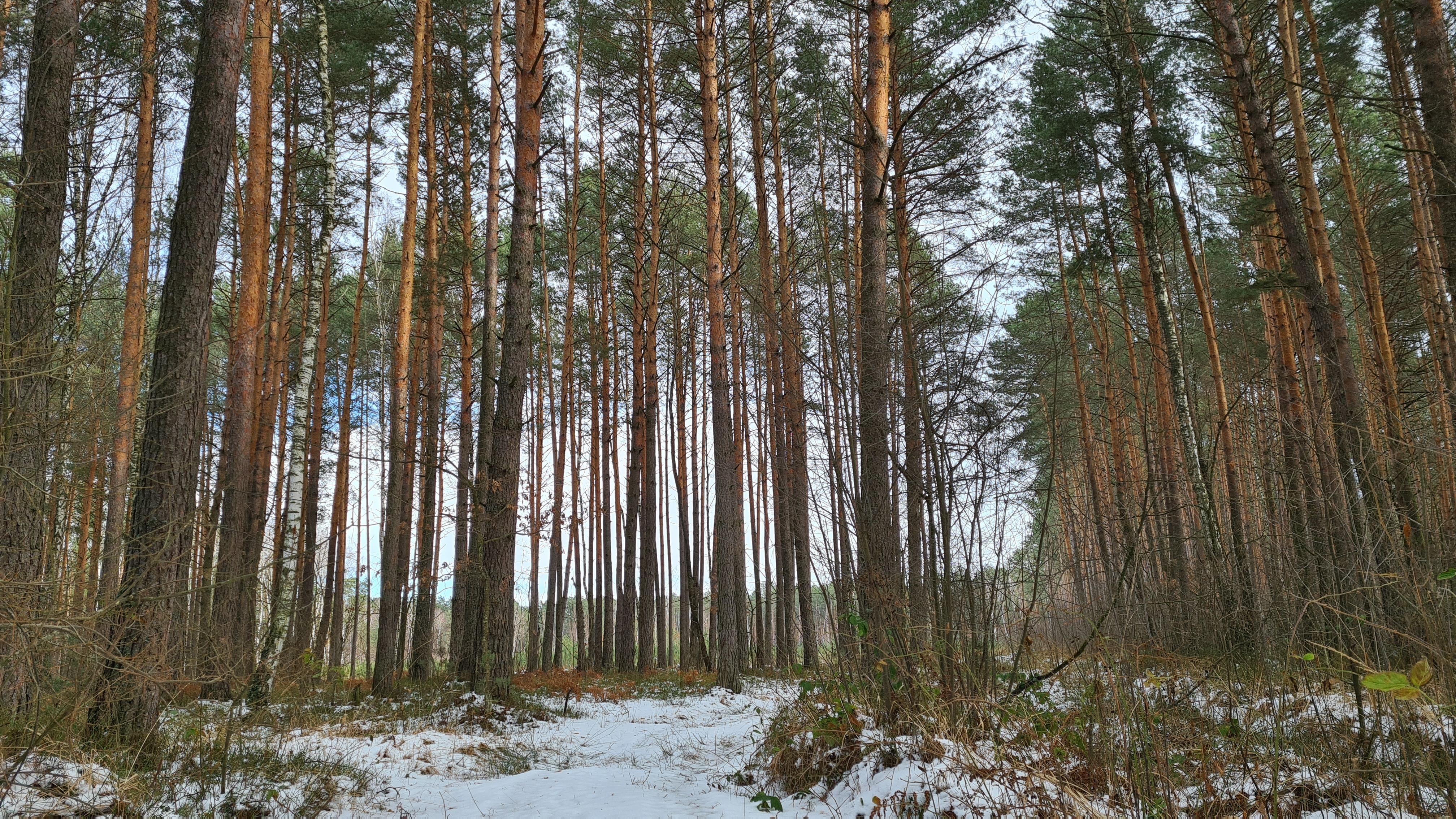 План заходів з протидії всиханню соснових лісів Білорусі та України